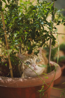 Portrait of ginger cat in a plant pot - RAEF02144