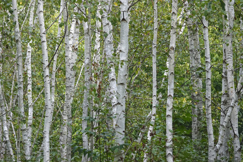 Germany, birch forest - JTF01078