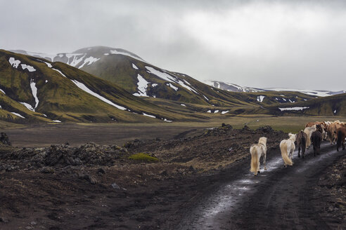 Iceland, Highlands of Iceland, Landmannalaugar, horseback riding, Icelandic horses, Fjallabak Nature Reserve - MMAF00550