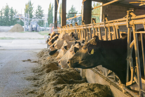 Cows in stable on a farm - FBAF00087