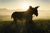 Italy, Tuscany, Borgo San Lorenzo, man walking with donkey in field at sunrise above rural landscape - FBAF00096