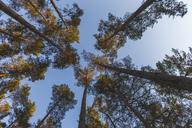 Germany, Brandenburg, Beelitz, Pine Forest, worm's eye view - ASCF00877
