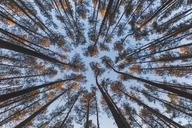 Germany, Brandenburg, Beelitz, Pine Forest, worm's eye view - ASCF00880