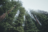 Low angle view of trees growing in forest at Redwood National and State Parks - CAVF48769