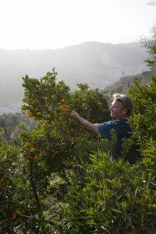 Man harvests oranges from orchard - AURF06552