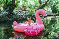 Yorkshire terrier floating on water on an inflatable flamingo - KIJF02020