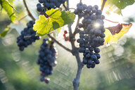 Close up of grapes growing in vineyard, Trevelin, Chubut, Argentina - AURF06740