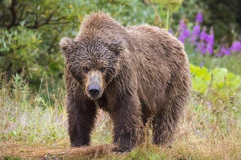 Female Alaska Peninsula brown bear (Ursus arctos horribilis) in Katmai National Park and Preserve, Alaska, USA - AURF06848