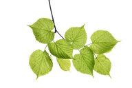 Lime tree, Tilia spec., leaves against white background - RUEF01960