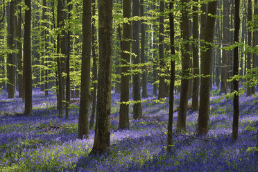 belgium, Flemish Brabant, Halle, Hallerbos, Bluebell flowers, Hyacinthoides non-scripta, beech forest in early spring - RUEF01993