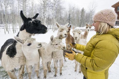 Side view of woman feeding alpacas and llama, Ridgway, Colorado - AURF07453