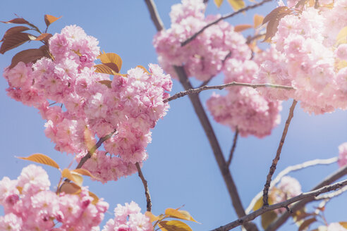 USA, Washington State, cherry blossoms - MMAF00564