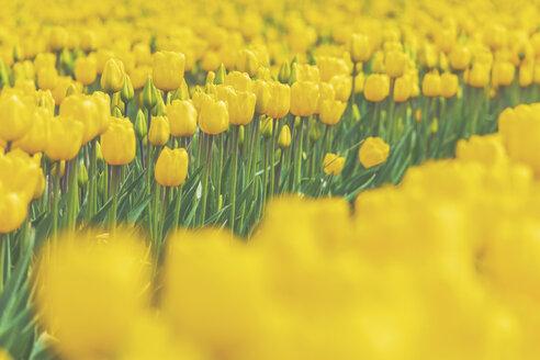 USA, Washington State, Skagit Valley, tulip field, yellow tulips - MMAF00579