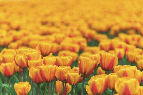 USA, Washington State, Skagit Valley, tulip field - MMAF00582