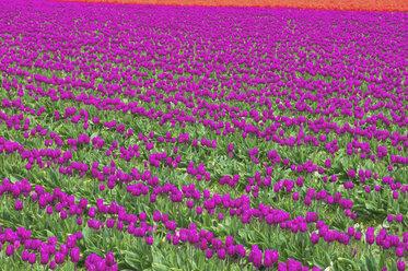 USA, Washington State, Skagit Valley, tulip field - MMAF00585