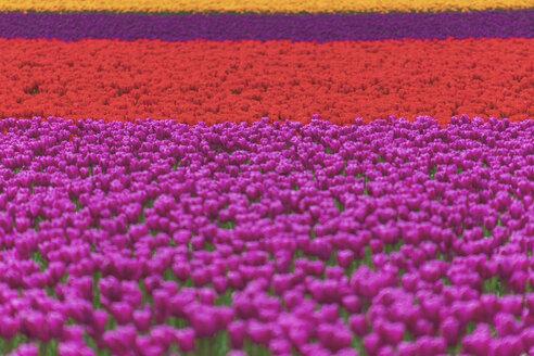 USA, Washington State, Skagit Valley, tulip field - MMAF00588