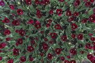 USA, Washington State, Skagit Valley, tulip field - MMAF00591