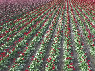 USA, Washington State, Skagit Valley, tulip field - MMAF00603