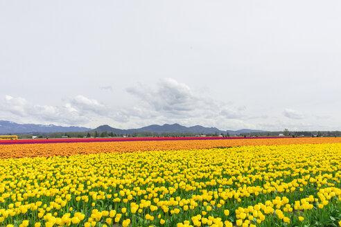 USA, Washington State, Skagit Valley, tulip field - MMAF00606