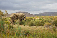 South Africa, Western Cape, Touws River, Aquila Private Game Reserve, Elephant, Loxodonta Africana - ZEF15973