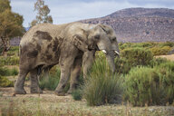 South Africa, Aquila Private Game Reserve, Elephants, Loxodonta Africana - ZEF15976