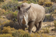 South Africa, Touws River, Cape Town, Aquila Private Game Reserve, Rhino, Rhinoceros - ZEF15979