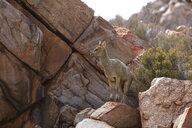 South Africa, Aquila Private Game Reserve, Klipspringer, Oreotragus oreotragus - ZEF15988
