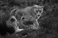 South Africa, Aquila Private Game Reserve, Lioness and lion, Panthera leo - ZEF15991