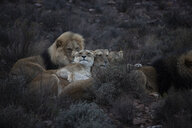 South Africa, Aquila Private Game Reserve, Lions, Panthera leo - ZEF15997
