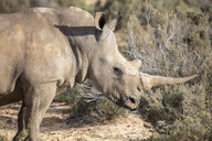 South Africa, Aquila Private Game Reserve, Rhino, Rhinoceros - ZEF16000