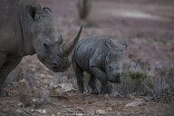 South Africa, Aquila Private Game Reserve, Rhino and baby rhino, Rhinoceros - ZEF16006