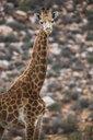 South Africa, Aquila Private Game Reserve, Giraffe, Giraffa camelopardalis - ZEF16015