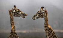 South Africa, Aquila Private Game Reserve, Giraffes, Giraffa camelopardalis, face to face - ZEF16018