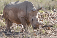 South Africa, Aquila Private Game Reserve, Rhino, Rhinoceros - ZEF16021