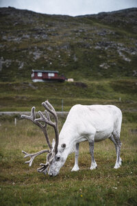 Norway, Lapland, Male reindeer grazing - KKAF02307