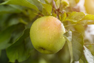 Germany, apple in tree - JUNF01355