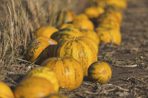 Yellow pumpkins on a field - ASCF00887