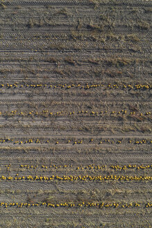 Pumpkin field at harvesttime, aerial view - ASCF00890