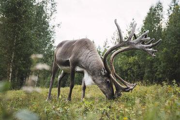 Finland, Lapland, reindeer grazing in rural landscape - KKAF02390