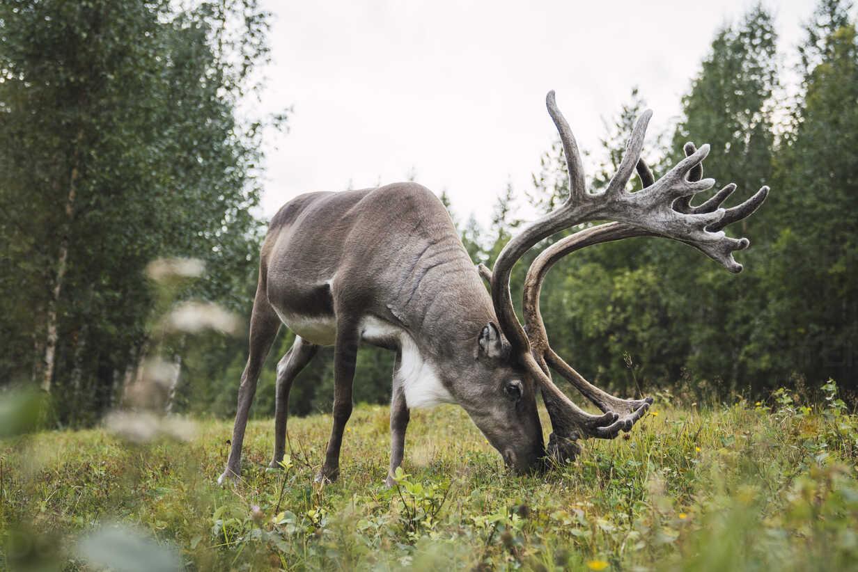 Finland, Lapland, reindeer grazing in rural landscape - KKAF02390 - Kike Arnaiz/Westend61