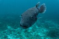 Underwater view of puffer fish, close up, Phuket, Thailand - CUF44288