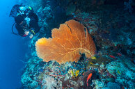 Underwater view of diver exploring sea fan at the Tubbataha Reefs Natural Park, Cagayancillo, Palawan, Philippines - CUF44291