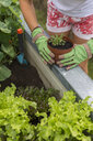 Close-up of woman gardening at raised bed - JUNF01464