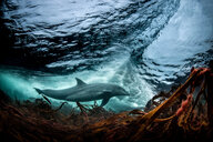 Surfing, Bottlenose dolphin (Tursiops truncates), underwater, low angle view, Doolin, Clare, Ireland - CUF44860