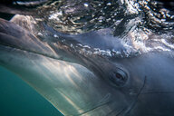 Bottlenose dolphin's eye, close-up, underwater view - CUF44869
