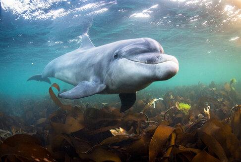 Bottlenose dolphin (Tursiops truncatus), swimming underwater, Doolin, Clare, Ireland - CUF44878