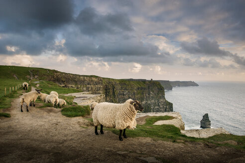 Sheep on rural pathway, Cliffs of Moher, Doolin, Clare, Ireland - CUF44902
