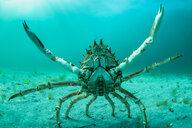 Spider crab in fighting pose, Inishmore, Aran Islands, Ireland - CUF45046