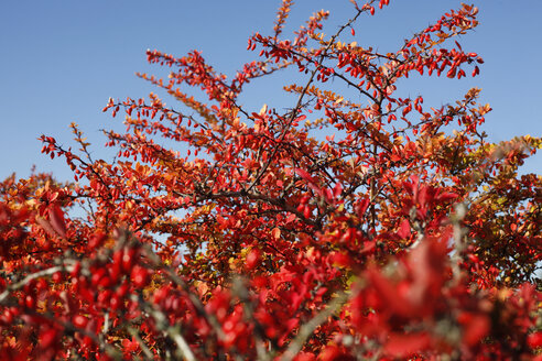 Germany, Common Barberry - JTF01092
