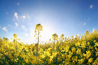Scenic view of a yellow field - INGF00074